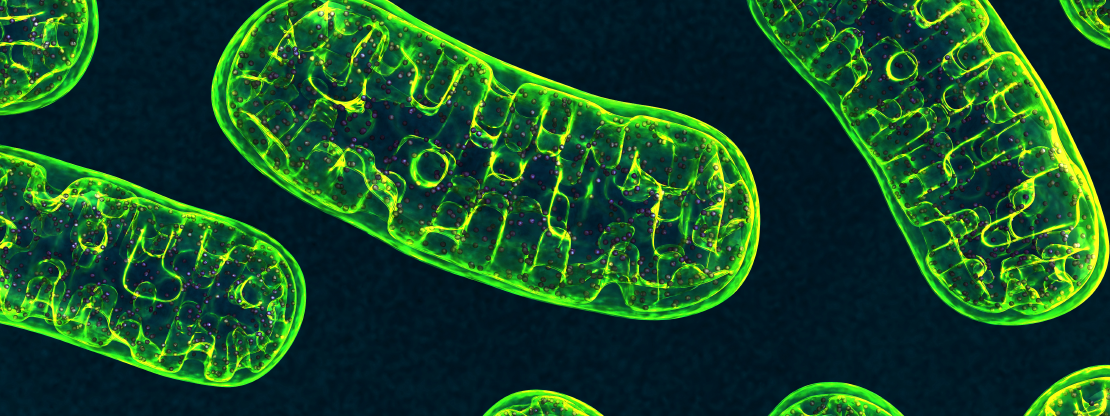 What are Mitochondria & How do they work?